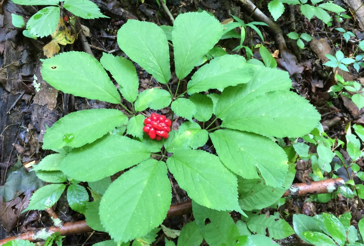 How to Find and Sell American Wild Ginseng