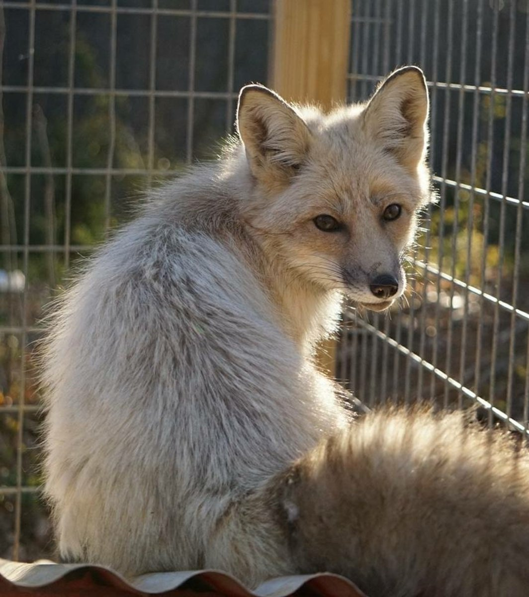 Evienne the tame fox, fire and ice color morph.