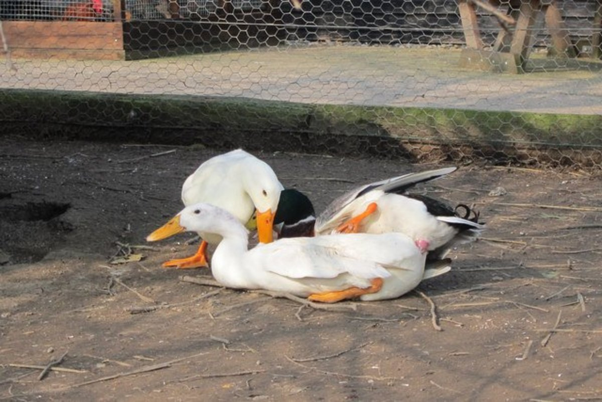 For ducks, the breeding process isn't very pleasant for the females, but there are steps you can take to reduce the risk of harm.