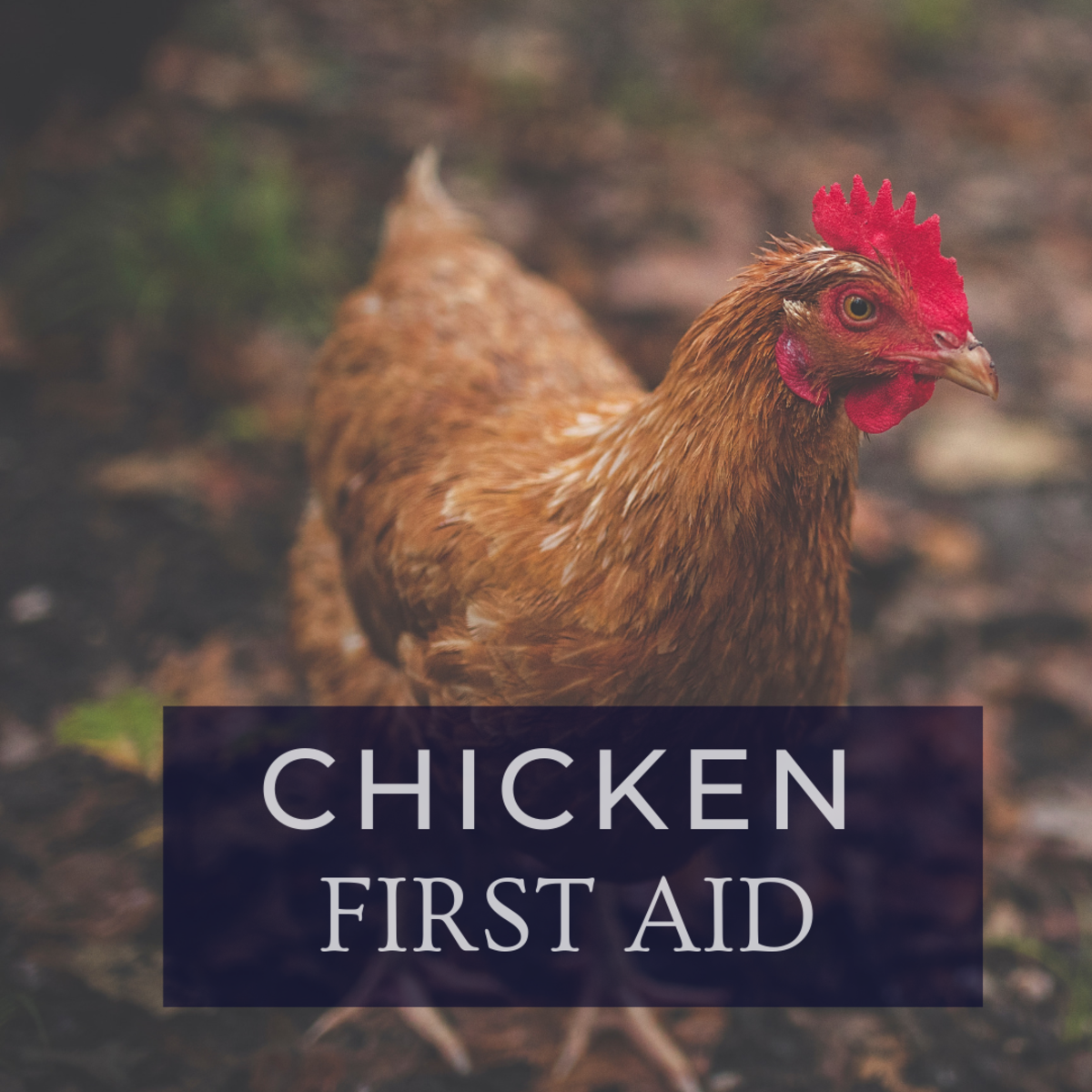 First Aid: How to Care for an Injured Chicken