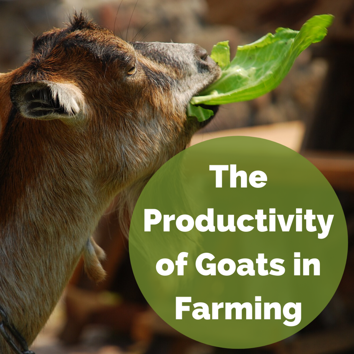 Goats in Farming: Feeding and Productivity