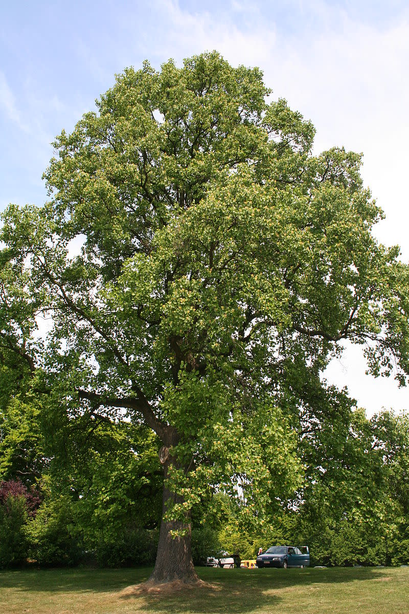 Tulip Poplar Tree Facts, Uses, and Planting Tips