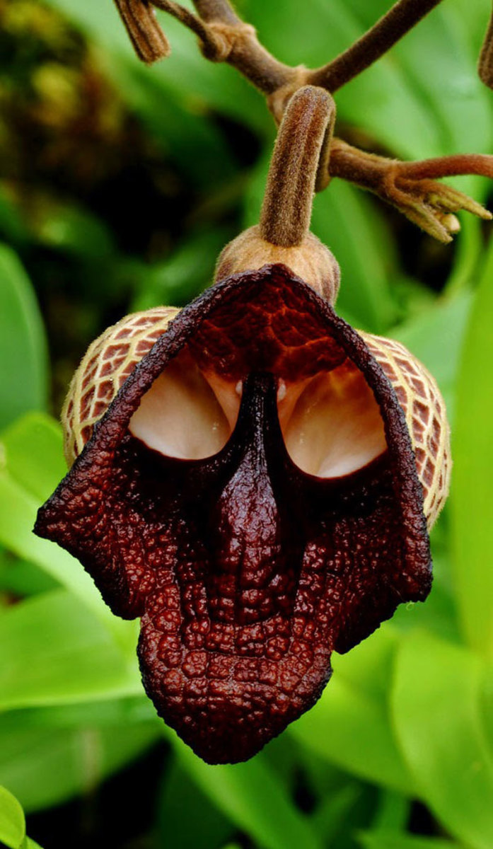 A skull orchid (Aristolochia salvadorensis) from Costa Rica.