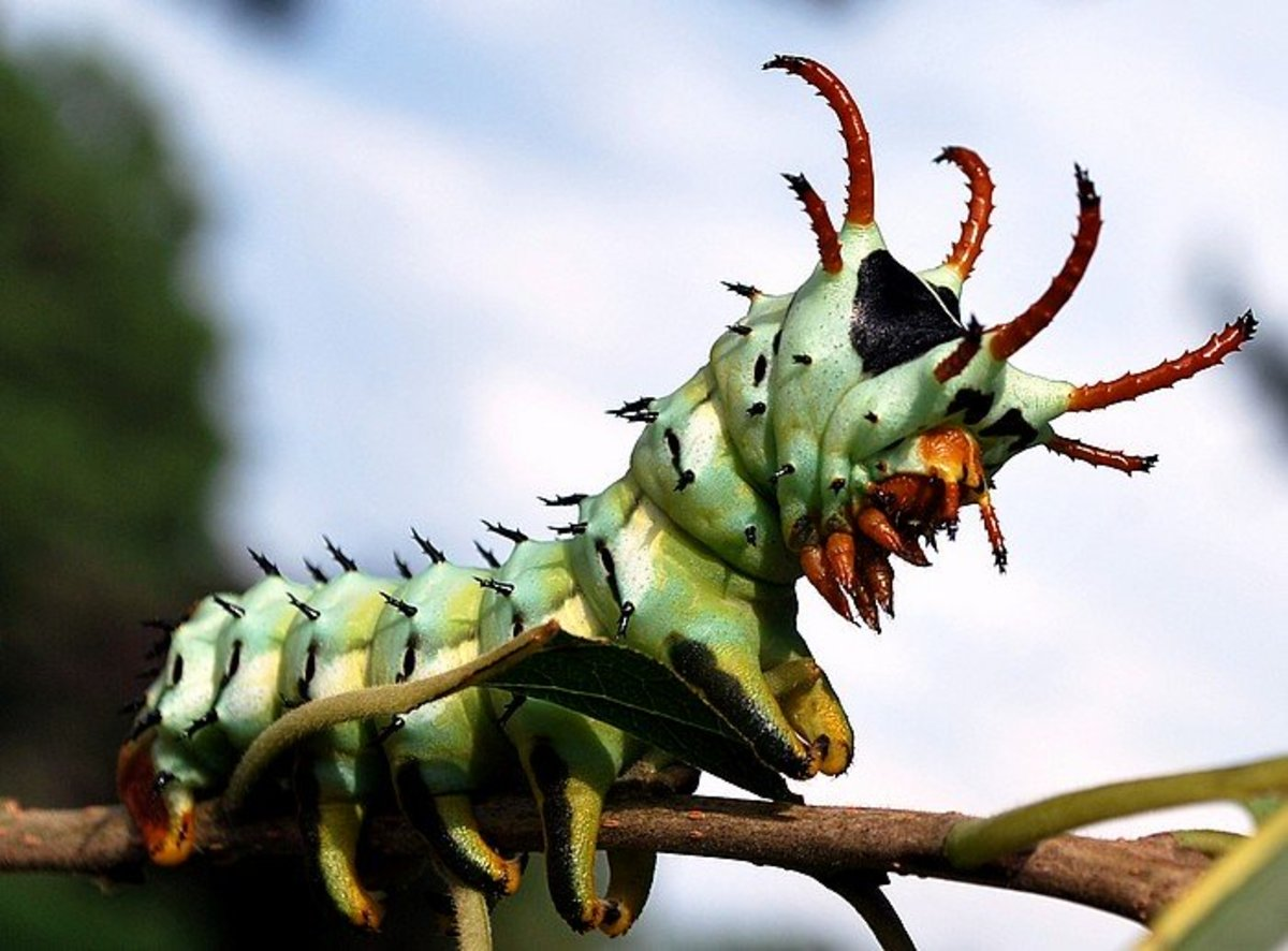 Hickory Horned Devil Caterpillars:  Even Chickens Are Afraid of Them