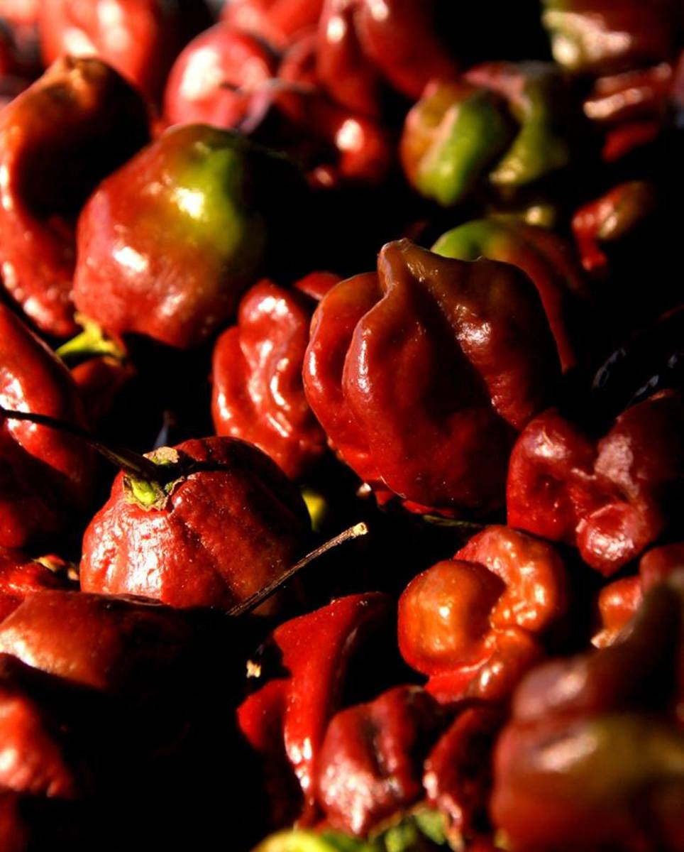 These Chocolate Habeneros are a color variation of the well known hot pepper.