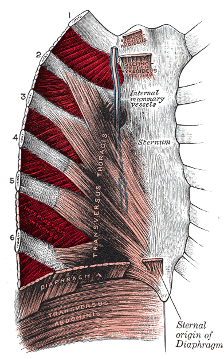 Intercostal Muscles expand during inhalation.