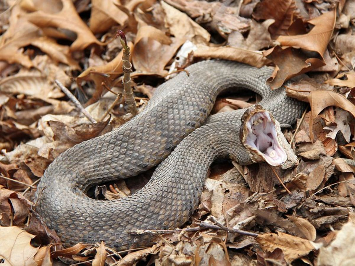 A photo of the Cottonmouth snake, by Greg Schechter.