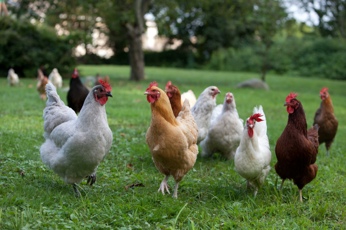 How to Start and Raise Backyard Chickens: Building a ...