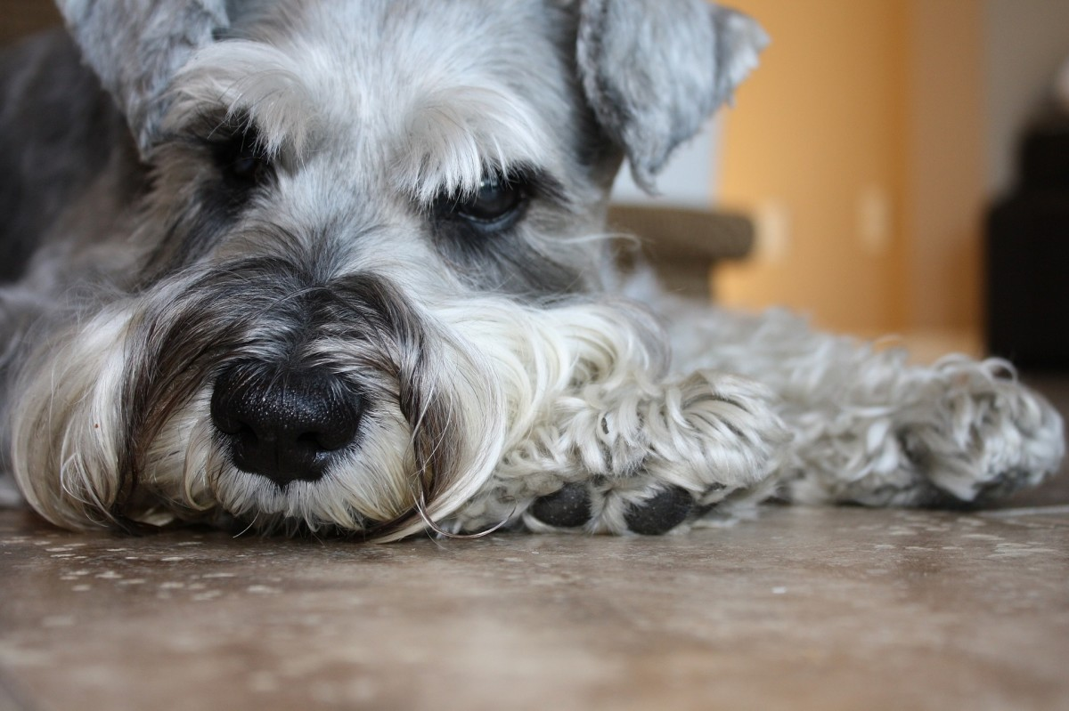 Origins of the Miniature Schnauzer
