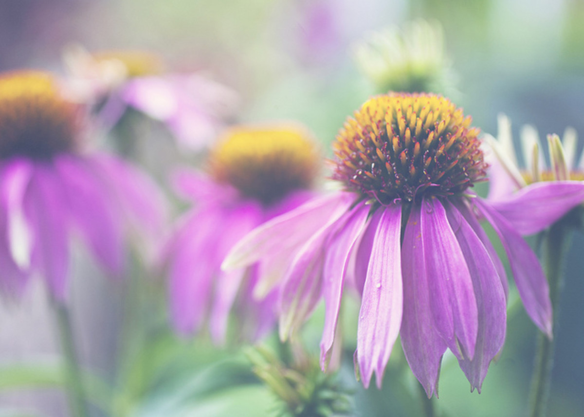 Purple coneflower is a beautiful addition to planned gardens, but also grows naturally in prairies and wooded areas.