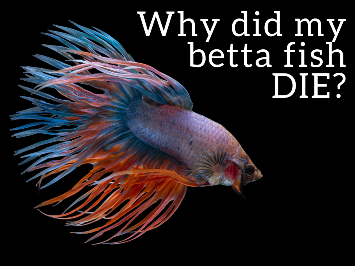 Top 6 Reasons Betta Fish Die