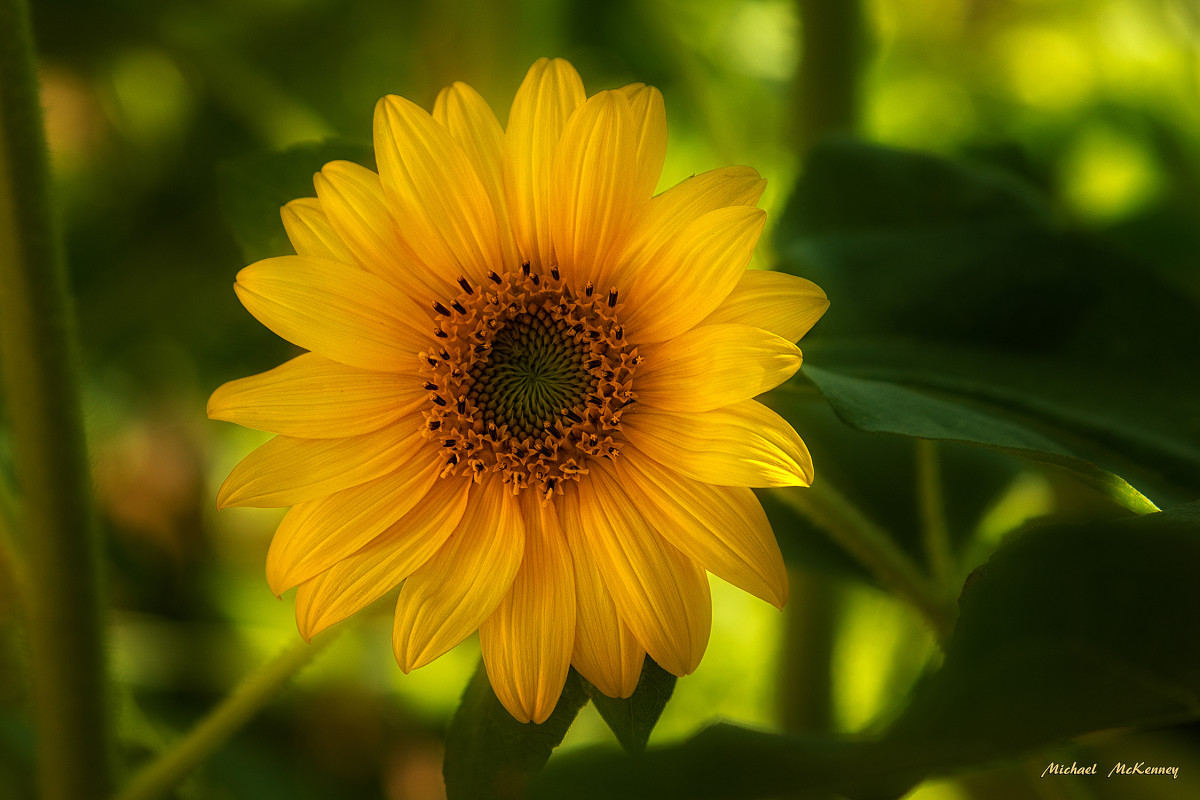 Large Sunflowers Signal the Start of Summer and Can Provide Plenty of Snacks