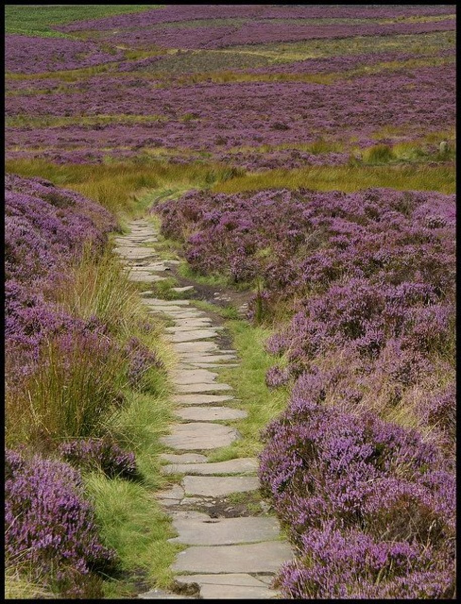 Heather moor in Scotland (Wiki Commons)