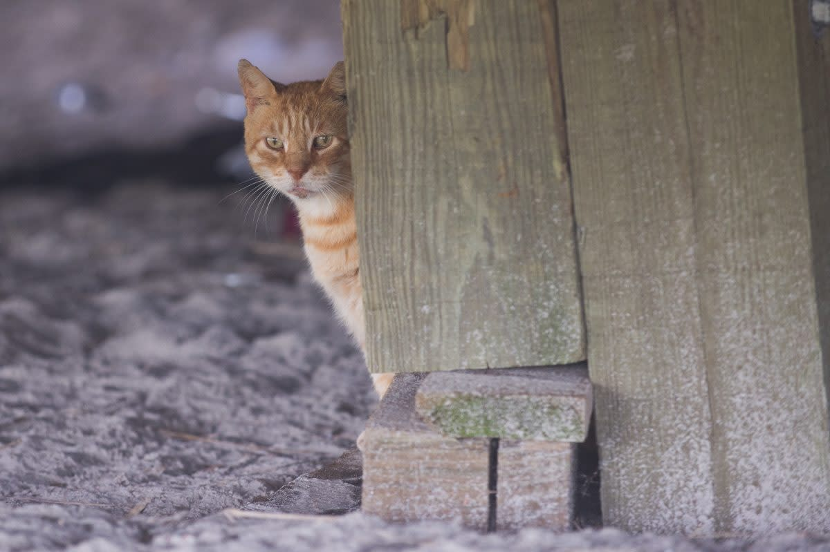 The beloved cats of the boardwalk in Atlantic City, NJ, are protected and fed by a group called The Alley Cat Allies and other volunteers who assist in a program of trap-neuter-return that began in 2000.