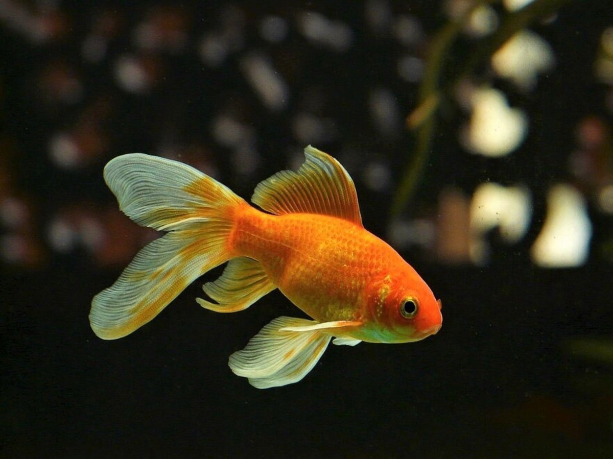 Goldfish: Interesting and Surprising Facts About a Popular Pet