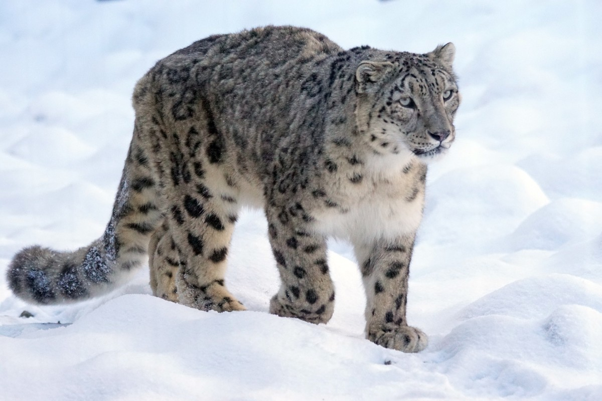 The Elusive Snow Leopard: Threats and Conservation