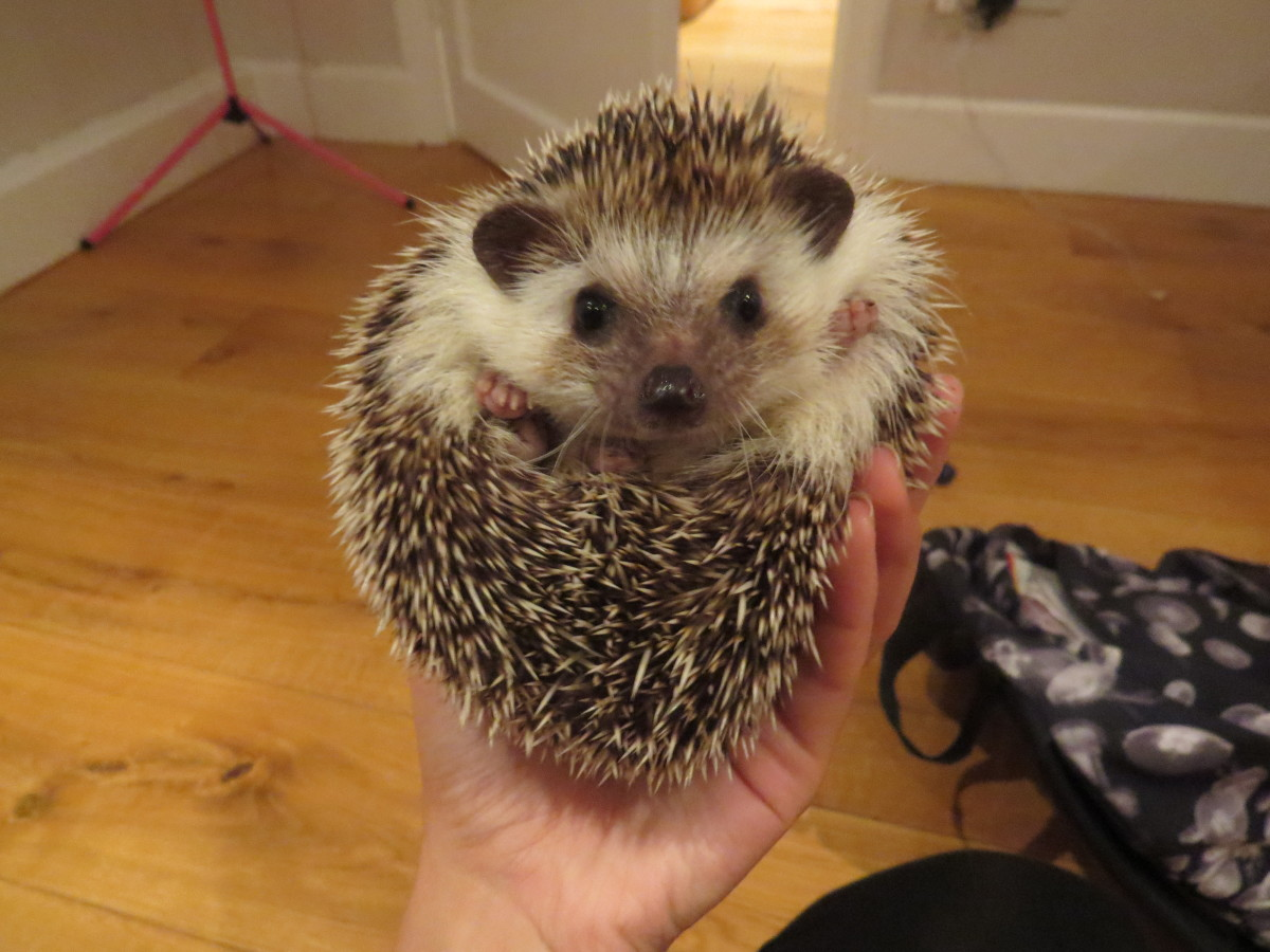 How to Properly Feed African Pygmy Hedgehogs: Protein ...