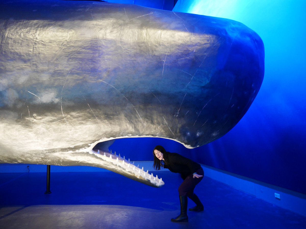 Sperm whale model in the whale exhibition with human for scale.