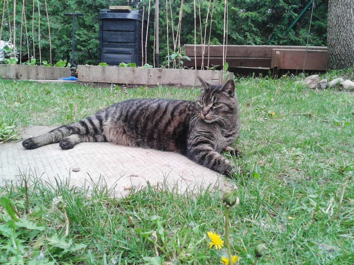 There's my old buddy, what a great cat! He  used to hang out with me in the back yard and follow me around the neighborhood. He got sprayed by a skunk, good thing we had Nature's Miracle Skunk Odor Remover!
