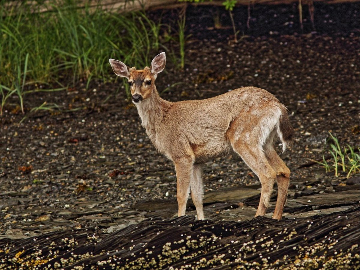 6 Deer Species That Are Kept as Pets