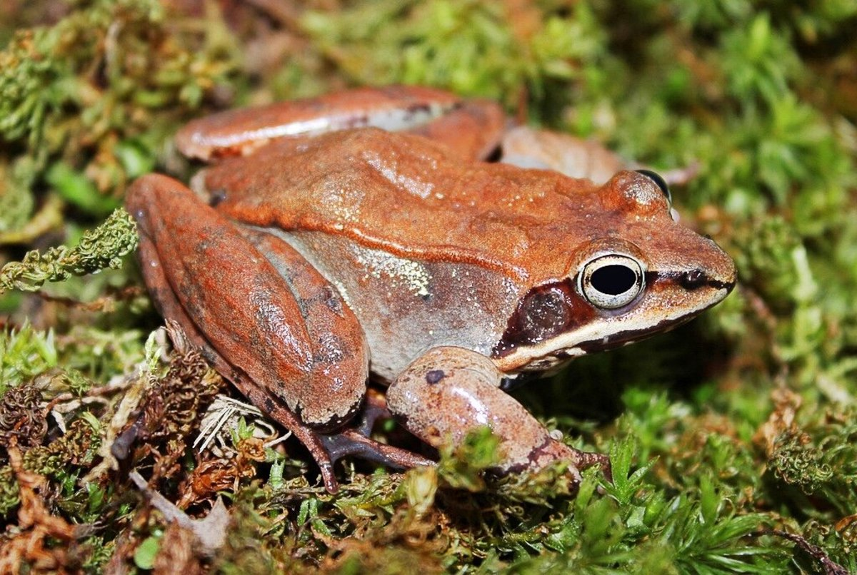 A wood frog photographed in Missouri