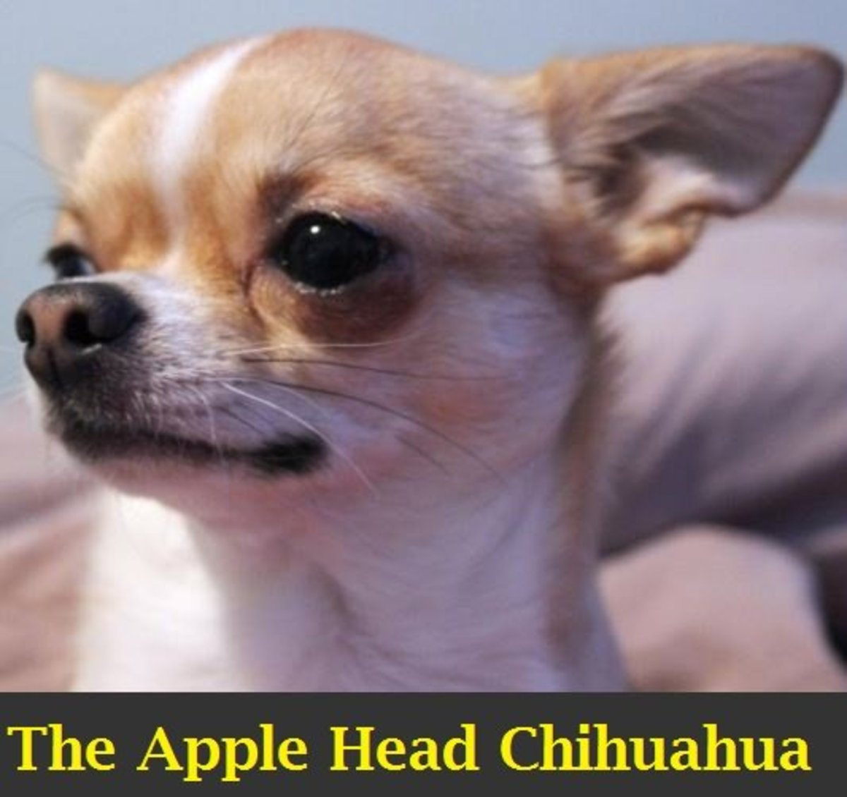 A Guide to the Apple Head Chihuahua