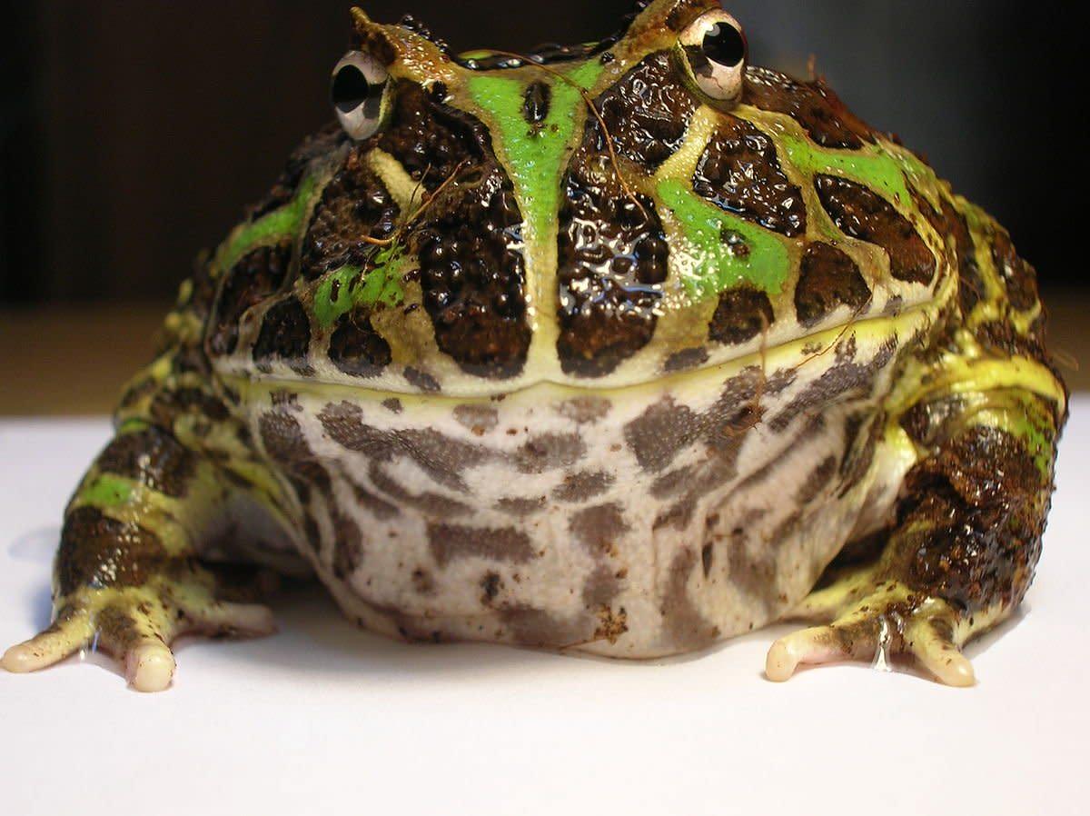 Pacman Frog Ornate Horned Frog Care Pethelpful