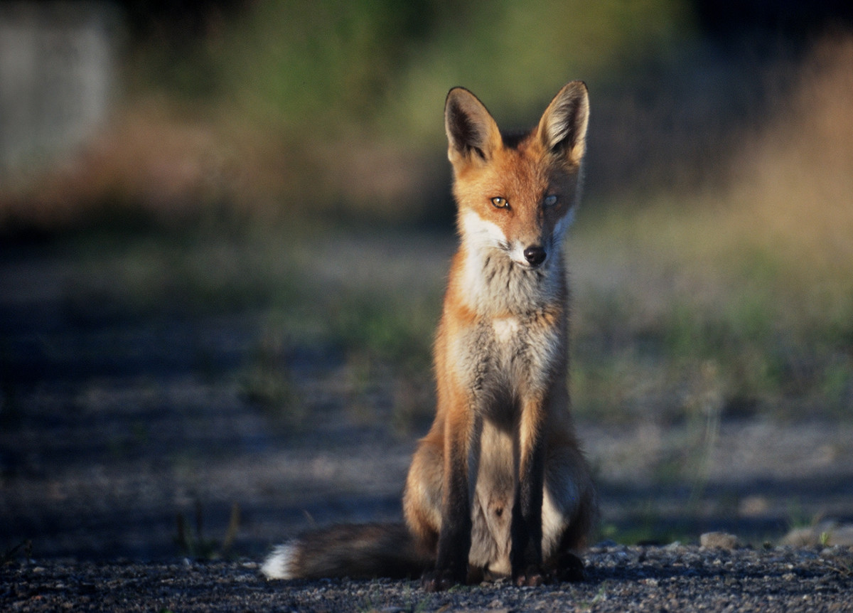 Widespread, clever, and tenacious, foxes are the stereotypical chicken killer, but there are many other species that may threaten your flock.