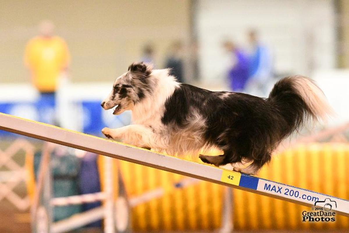 The author's dog at the 2017 AKC Agility National Championship.