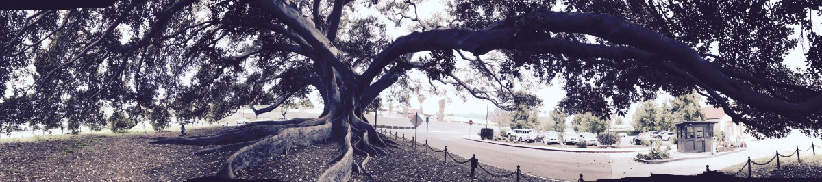 The Big Tree of Santa Barbara (Lyrical Poem)