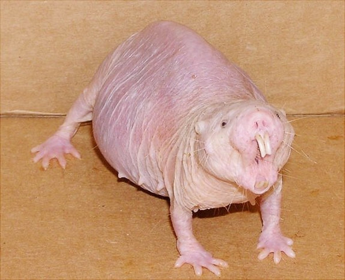 A female naked mole-rat