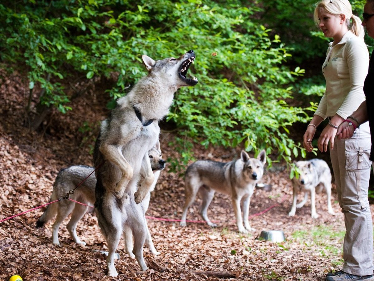 Czechoslovakian Wolfdogs being trained