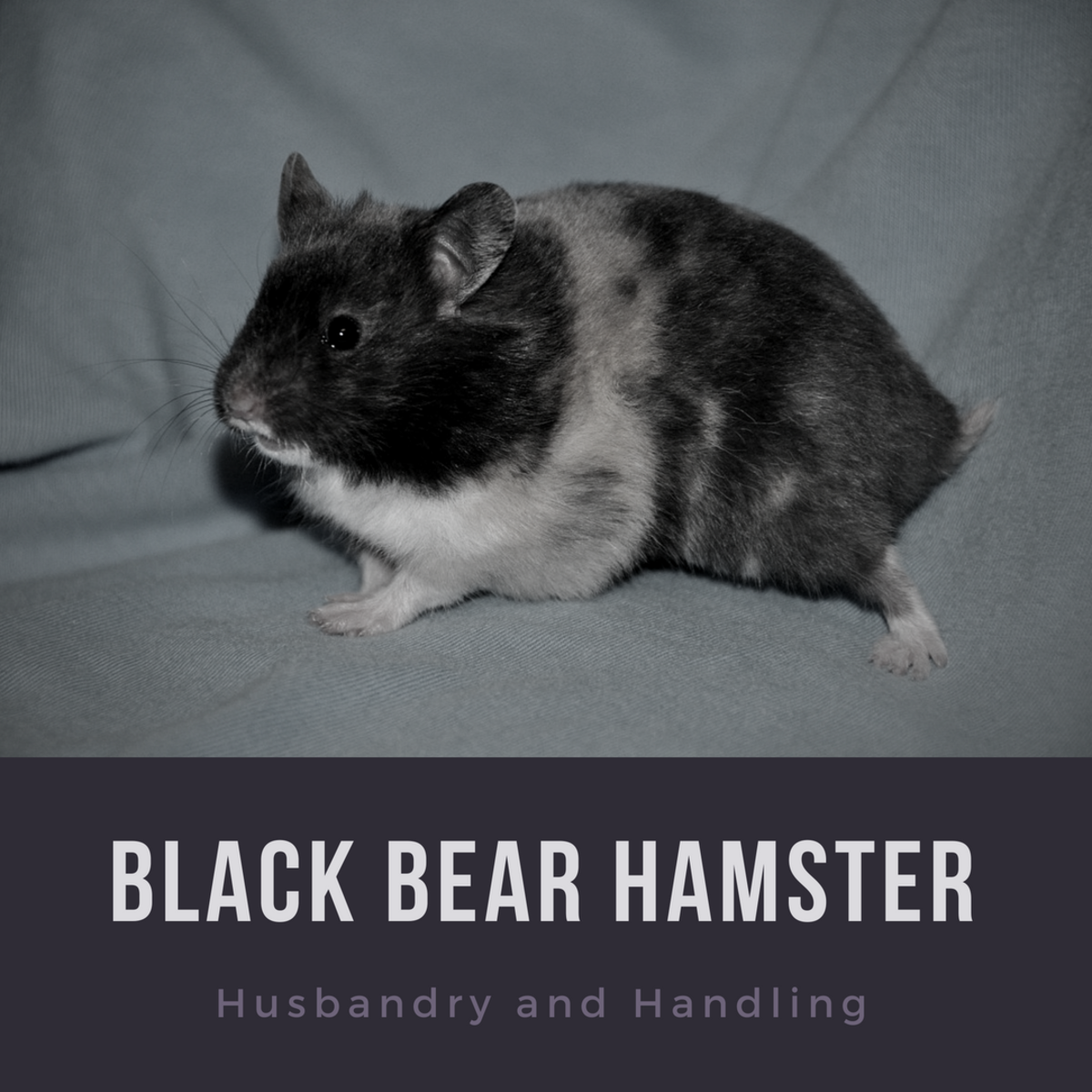 Learn how to properly care for your Black Bear hamster.
