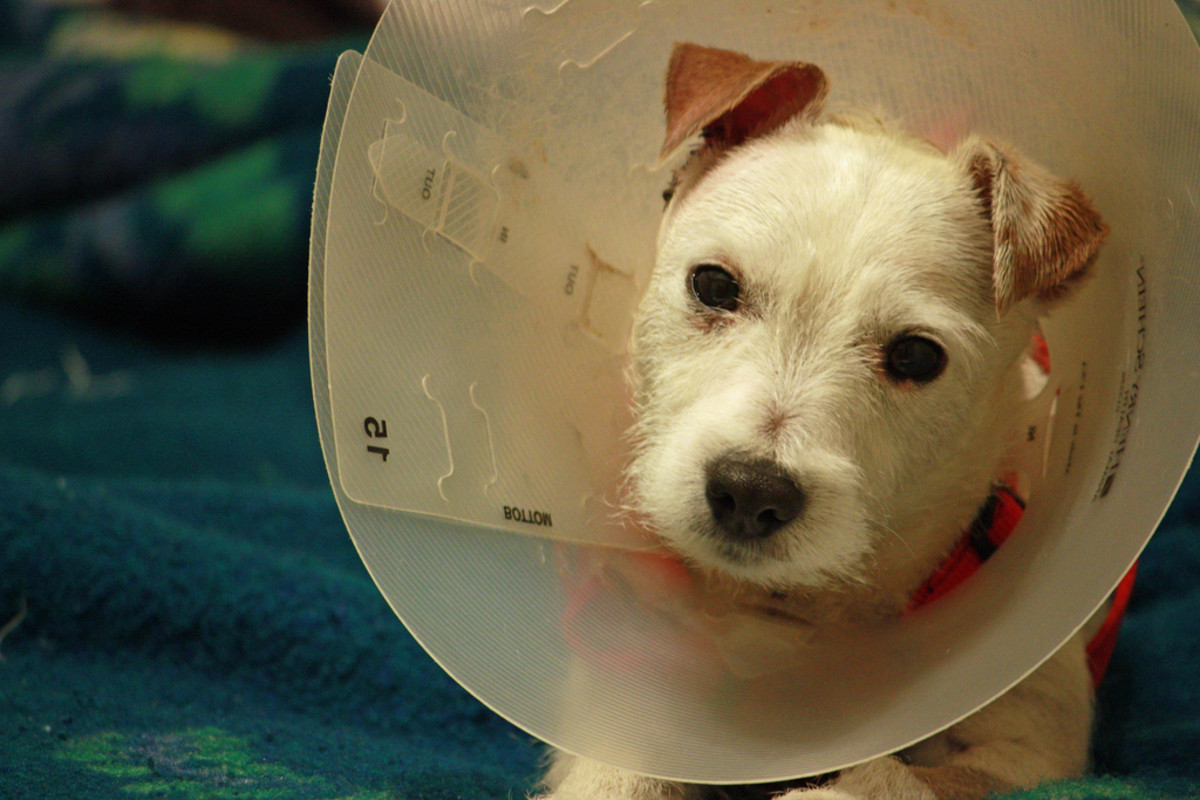 After Neutering or Spaying, Do Pets Really Need to Stay Overnight?