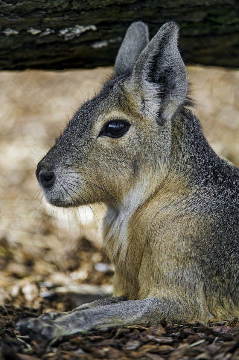 pet-patagonian-chacoan-mara-cavy-exotic-animal-care