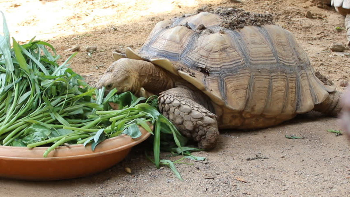 What to Feed Your Sulcata Tortoise