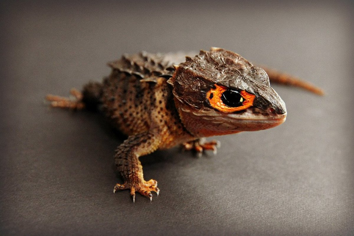 This adorable red-eyed crocodile skink could be yours!