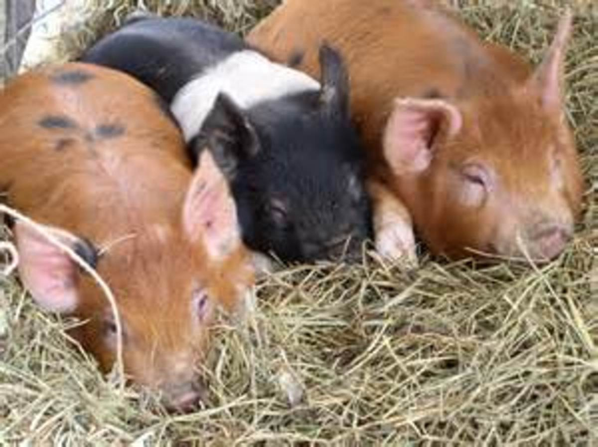 Piglets are the cutest!