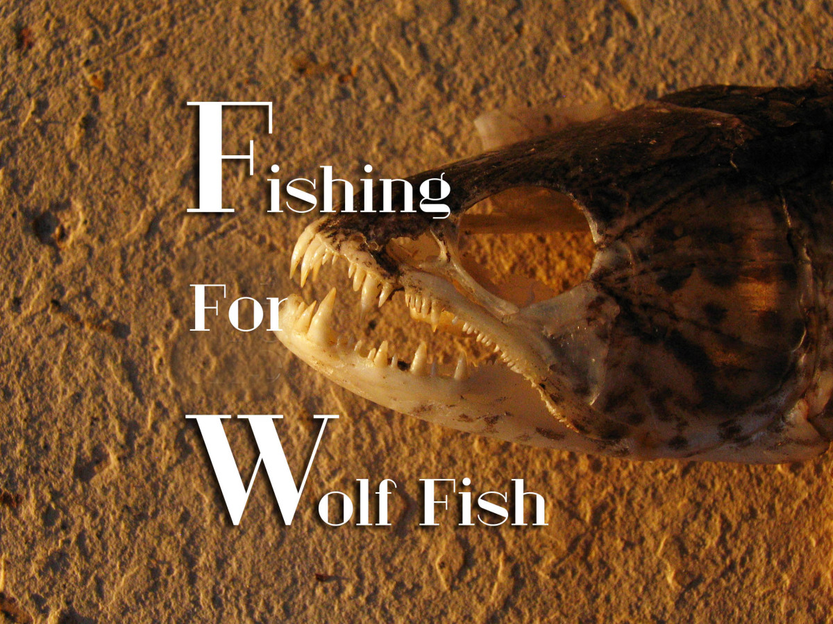 Wolf Fish Teeth
