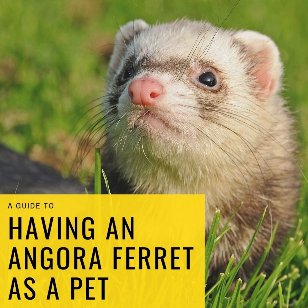 Angora ferrets can make wonderful pets.