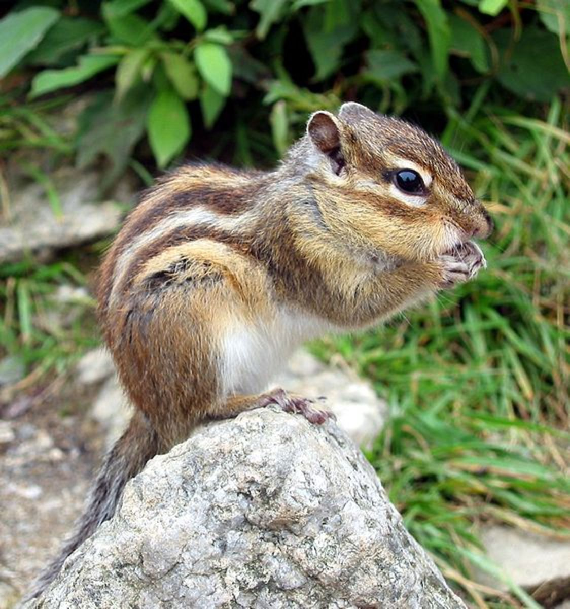 Chipmunks - Invasive Species in France