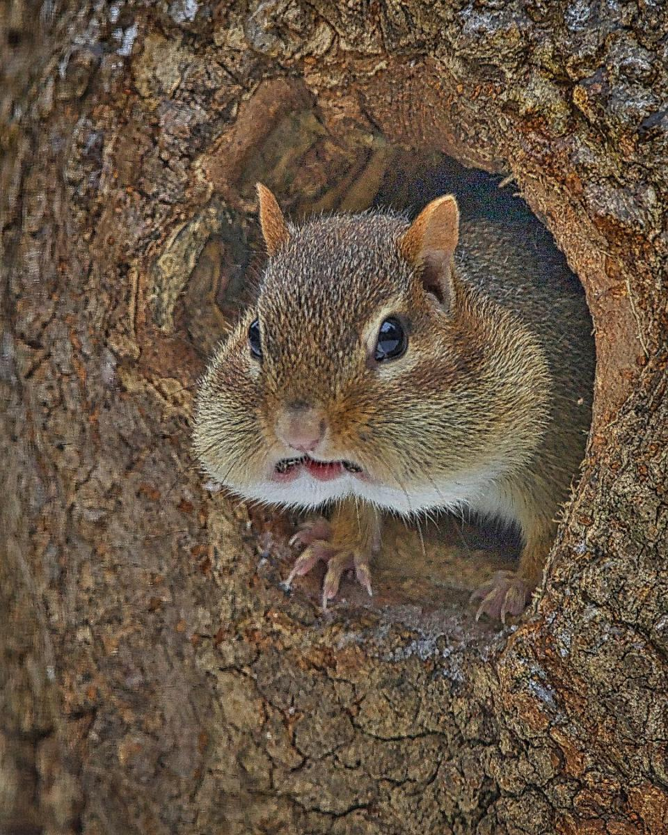 Chipmunks: Chubby-Cheeked Hoarders That Can Become Pests