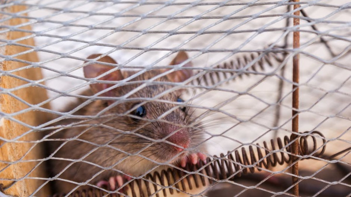 Rats, mice, and other small rodents are incredibly social creatures and crave the companionship of their own species.