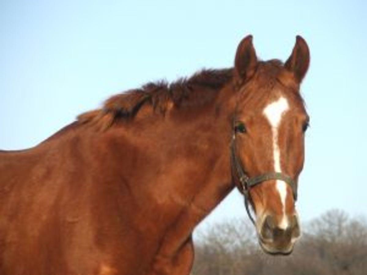 A Morgan horse