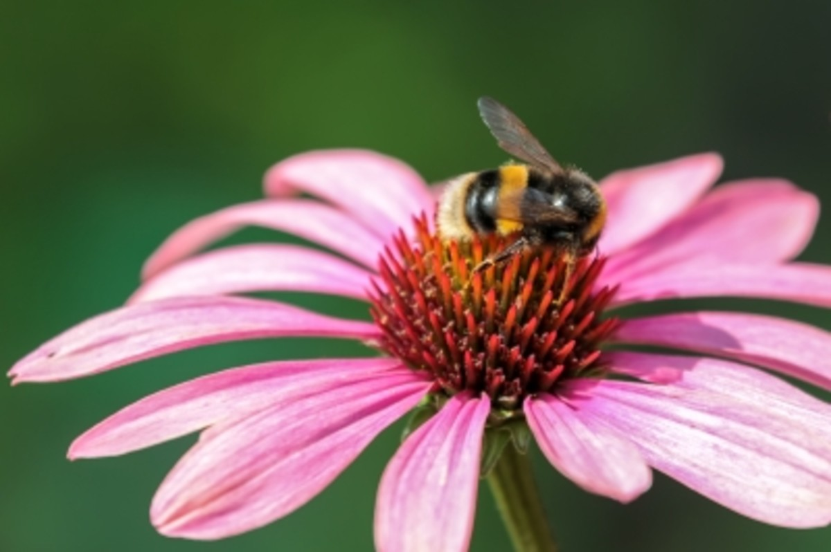 Bee on Pink Echinacea Flower