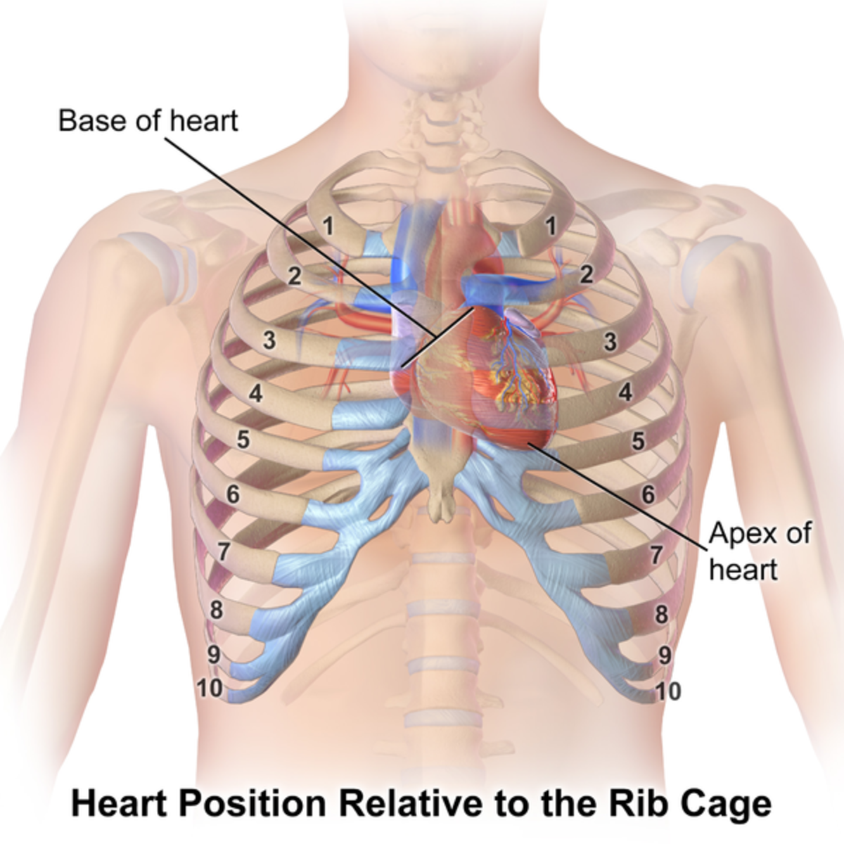 Replacing Dead Tissue in the Heart: Research and Discoveries