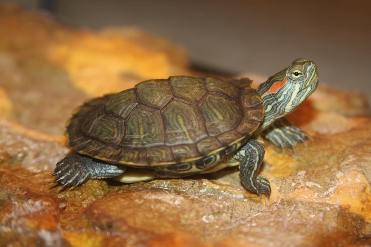 Red-eared sliders are one of the most popular turtle breeds kept as pets in the U.S.