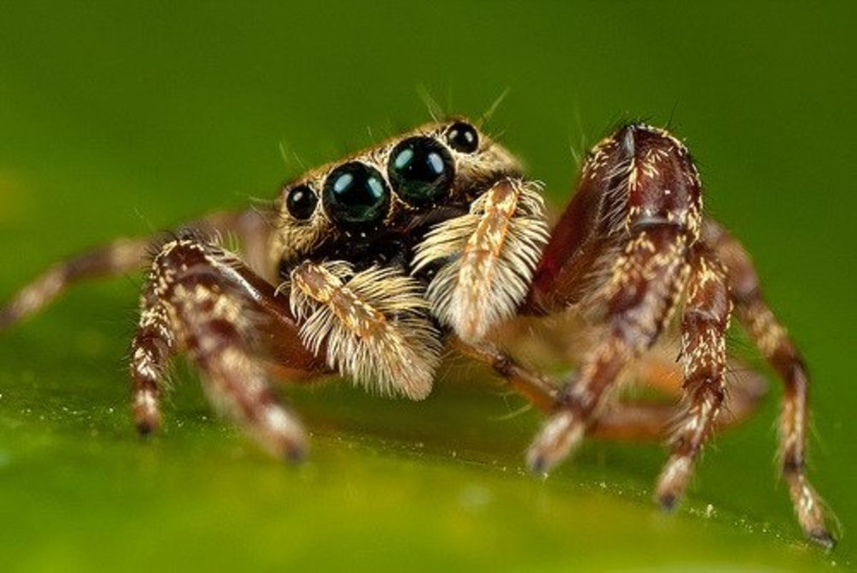 Most portia spiders don't spin webs like other spiders; instead they prefer to act like helpless prey caught in another spider's web.  This predator relies on its eight complex eyes, which provide almost a complete, 360-degree field of vision.
