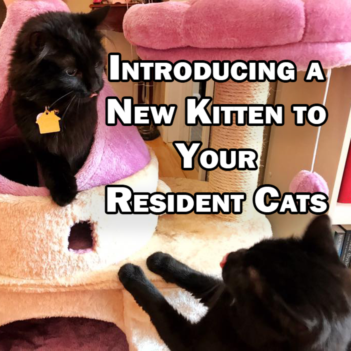 How to Introduce a New Kitten to Your Resident Cats - The Right Way!