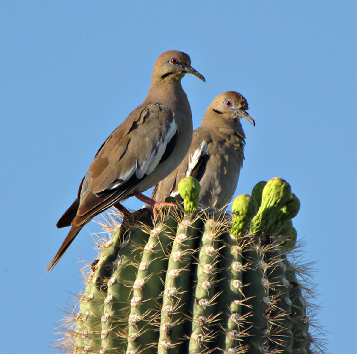 White-winged doves perching on on a cactus in Tucson, Arizona, USA